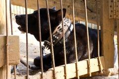 Czarny pies opuszczali w klatce. Fotografia Royalty Free