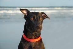 czarny pies otworzy uszy obraz royalty free