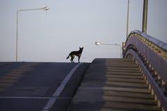 Czarny pies patrzeje dla coś na moscie Fotografia Stock