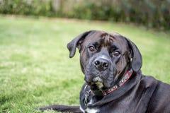 Czarny pies patrzeje kamerę w czarny i biały Obraz Stock