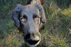 Czarny pies patrzeje obiektyw fotografia stock