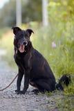 Czarny pies siedzi. Obrazy Stock