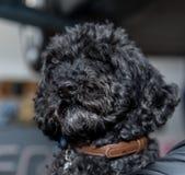 Czarny pies trzyma w rękach - portret Fotografia Royalty Free