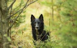 Czarny pies w drewnach Fotografia Stock