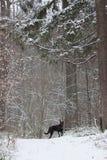 Czarny pies w lesie Zdjęcie Stock