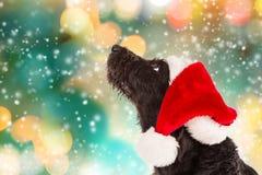 Czarny pies w Santa nakrętce Obraz Stock