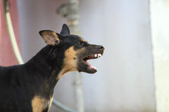 Czarny pies w Tajlandia obrazy royalty free