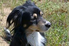 Czarny pies z błyszczącym włosianym obsiadaniem na gazonie Zdjęcia Royalty Free