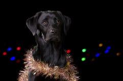 Czarny pies z Bożenarodzeniowymi wsparciami Obrazy Stock