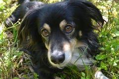Czarny pies z brązów oczami kłama w trawie Zdjęcie Stock