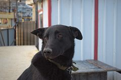 Czarny pies z ekspresyjnymi oczami obraz royalty free