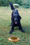 Czarny pies Z Frisbee Obrazy Stock