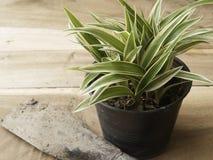 Czarny plastikowy garnek Chlorophytum comosum z rydlem na drewnie Obrazy Royalty Free