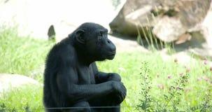Czarny pospolity szympansa obsiadanie na trawie FS700 4K zdjęcie wideo