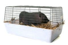 Czarny prosiaczek w klatce Zdjęcia Stock