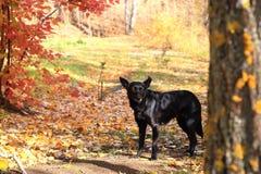 Czarny przybłąkany pies chodzi w jesień parku przeciw tłu Zdjęcia Stock