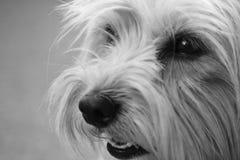 czarny psa biel zdjęcia stock