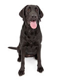 czarny psa labradora aporter Obrazy Stock