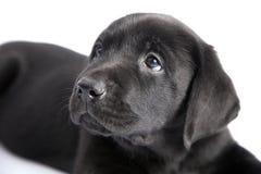 czarny psa labradora szczeniak fotografia royalty free