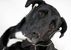 czarny psa przystojnej słuchawki słuchająca muzyka fotografia stock