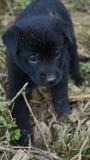 czarny psa szczeniak Fotografia Stock