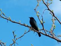 Czarny ptak Fotografia Stock