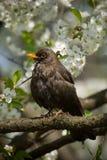 czarny ptak Zdjęcia Royalty Free