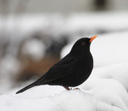 czarny ptak Obrazy Royalty Free