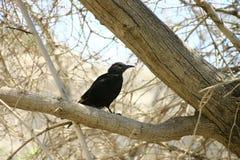 Czarny ptak Obraz Stock