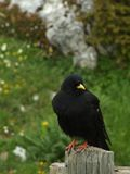Czarny ptak Obraz Royalty Free