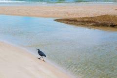 Czarny ptak chodzi na plaży Obrazy Royalty Free
