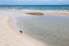 Czarny ptak chodzi na plaży Obraz Royalty Free