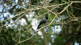 Czarny ptak na gałąź zbiory wideo