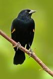 Czarny ptak od zwrotnika Czarnego i czerwonego lasowego pieśniowego ptaka Czerwonoskrzydłego kosa, Agelaius phoeniceus, egzotyczn Zdjęcie Royalty Free