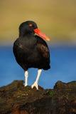 Czarny ptak Ptak z otwartym czerwonym rachunkiem Blakish oystercatcher, Haematopus ater z ostrygą w rachunku, czerń wodny ptak z  Zdjęcia Stock