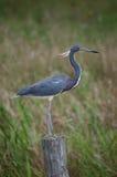 czarny ptak tri heron zdjęcie royalty free