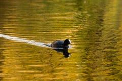 Czarny ptak w jesień barwiącej wodzie Zdjęcia Stock