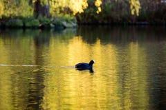 Czarny ptak w jesień barwionym stawie Zdjęcie Stock