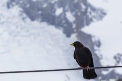 Czarny ptak z żółtym belfrem w śniegu Fotografia Stock