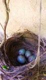 Czarny ptaka gniazdeczko Fotografia Stock