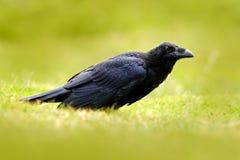 Czarny ptasi kruk w zielonej trawie Żywieniowa scena od natury Czarny ptak od Niemcy Ptak z jedzeniem Łąka z krukiem Wildli Zdjęcie Royalty Free
