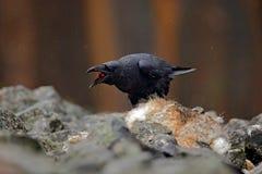 Czarny ptasi kruk z nieżywym czerwonym lisem, siedzi na kamieniu Ptasi zachowanie w naturze Skalisty siedlisko z czarnym krukiem  Zdjęcie Stock