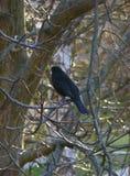Czarny ptasi obsiadanie na drzewie Zdjęcia Stock