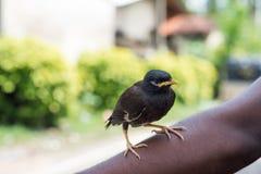 Czarny ptasi obsiadanie na ręce Obrazy Stock