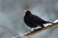Czarny ptasi Pospolity kos, Turdus merula, siedzi na gałąź z śniegiem Zdjęcie Royalty Free
