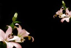 czarny ramowy lilium Fotografia Royalty Free