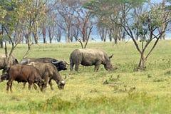 Czarny Rhinocero Obraz Royalty Free