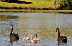 czarny rodzinny łabędź Obrazy Royalty Free