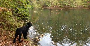 Czarny rosjanin Terrier przy jeziorem Obraz Stock