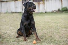 Czarny Rottweiler relaksuje w parku Zdjęcie Stock